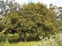 Macadamia nut tree